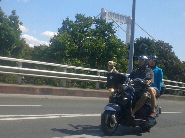 Motorbiciklin száguldó kutya az Erzsébet-hídnál (fotó: Rudas Anna / ittlakunk.hu)